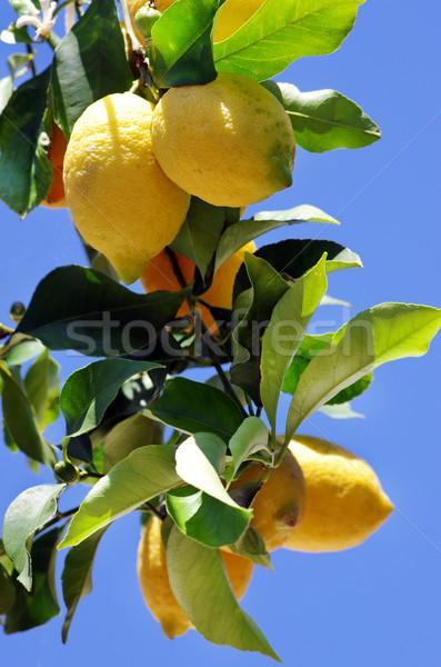 Olgun limon mavi gökyüzü gıda yaprak turuncu Stok fotoğraf © inaquim