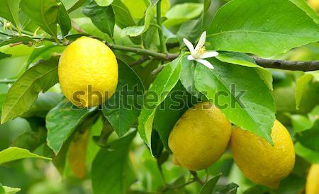 Amarelo limão flor enforcamento árvore água Foto stock © inaquim