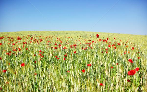 Zdjęcia stock: Maki · pole · pszenicy · Portugalia · wiosną · trawy · ogród