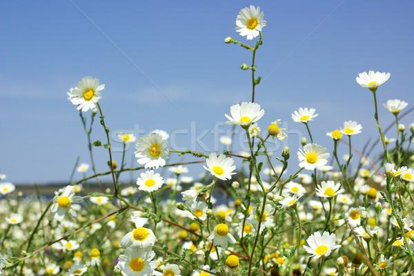 Campo céu flor feliz beleza Foto stock © inaquim