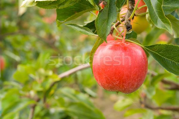 Piros alma egy ág almafa kicsi fa Stock fotó © IngaNielsen