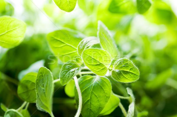 Origano impianto foglie fresche verde impianti Foto d'archivio © IngaNielsen
