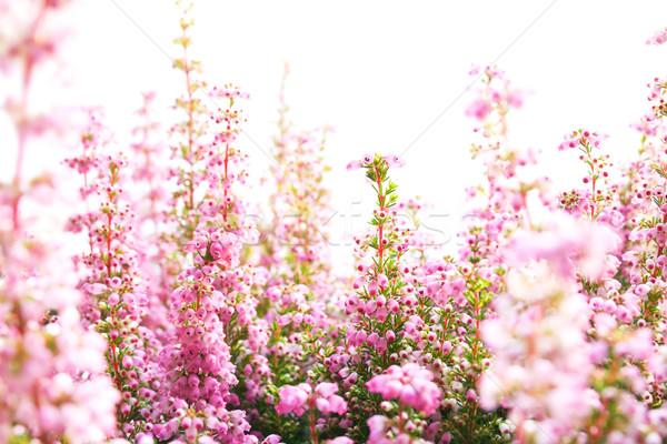 Bloesems witte bloemen zomer groep Stockfoto © IngaNielsen