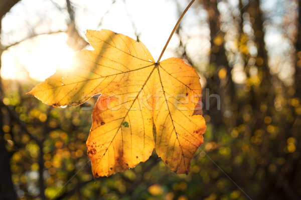 Autumn leaf in sunshine Stock photo © IngaNielsen