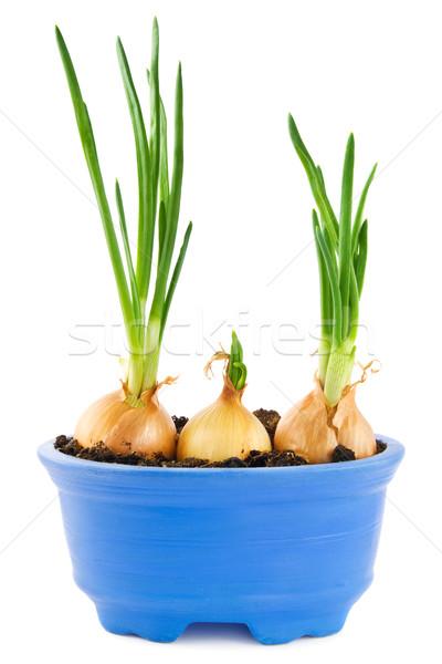 Uien groeiend Blauw plant pot voedsel Stockfoto © IngaNielsen