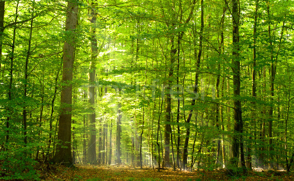 Deciduous forest in summer Stock photo © IngaNielsen