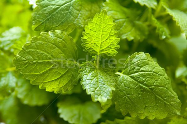 Balzsam növény makró kép levelek levél Stock fotó © IngaNielsen