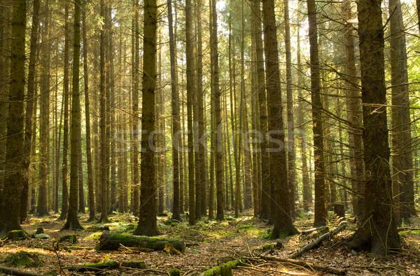 Coniferous forest Stock photo © IngaNielsen