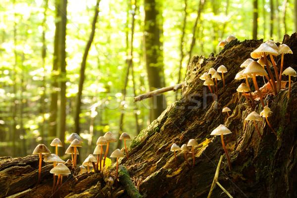 Forestales hongos creciente podrido árbol tarde Foto stock © IngaNielsen