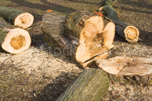 Sick tree felled Stock photo © IngaNielsen