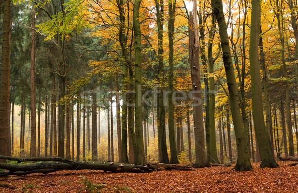Mixed forest in autumn Stock photo © IngaNielsen
