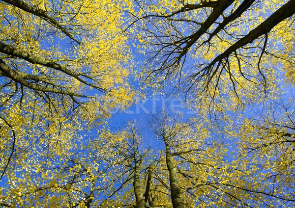 View upwards in autumn forest Stock photo © IngaNielsen