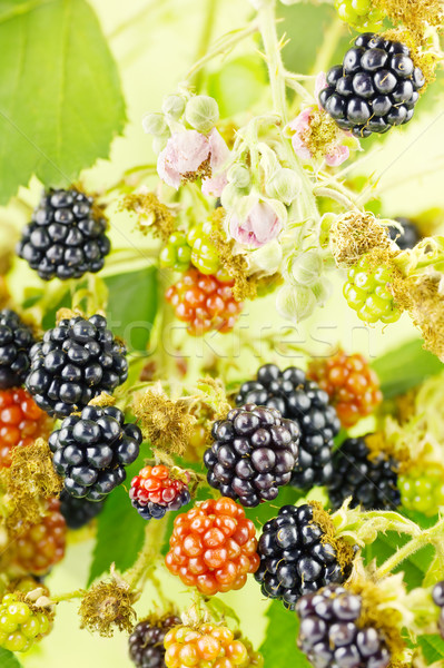 Blackberries in bush Stock photo © IngaNielsen