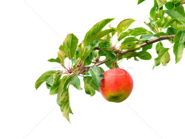 яблоко филиала красное яблоко листьев белый дерево Сток-фото © IngaNielsen