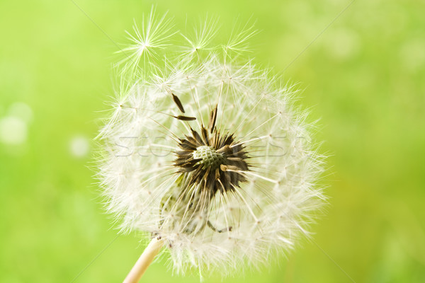 Dandelion semente cabeça verde primavera prado Foto stock © IngaNielsen