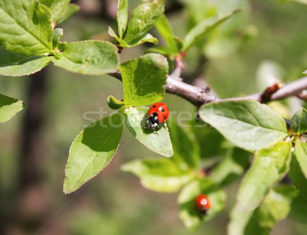 Lieveheersbeestje vergadering voorjaar dag natuur Stockfoto © IngridsI