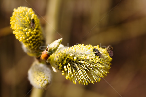 Branch of willow with fly  Stock photo © inoj