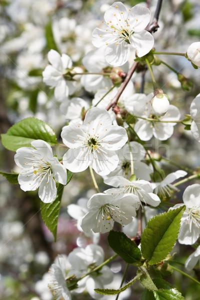 весны цветок дерево древесины лет Сток-фото © inoj