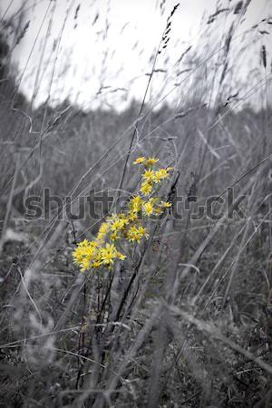 Sarı çiçekler çayır gökyüzü yaprak güzellik yaz Stok fotoğraf © inoj