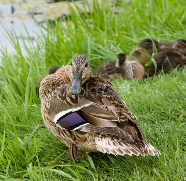 öfkeli ördek bebek çim doğa yaz Stok fotoğraf © inoj