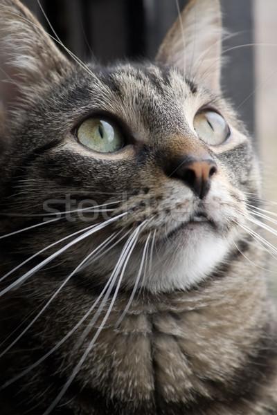 Katze Porträt Auge Gesicht Kopf pussy Stock foto © inoj