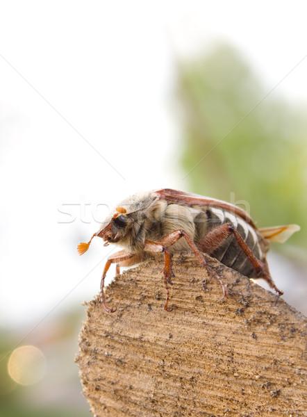 May-bug beetle  Stock photo © inoj