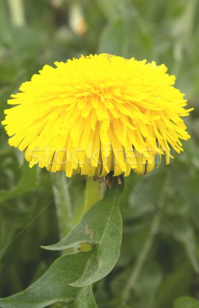 Karahindiba çiçek bahar orman arka plan Stok fotoğraf © inoj