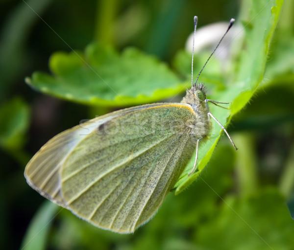 небольшой белый бабочка лист весны трава Сток-фото © inoj