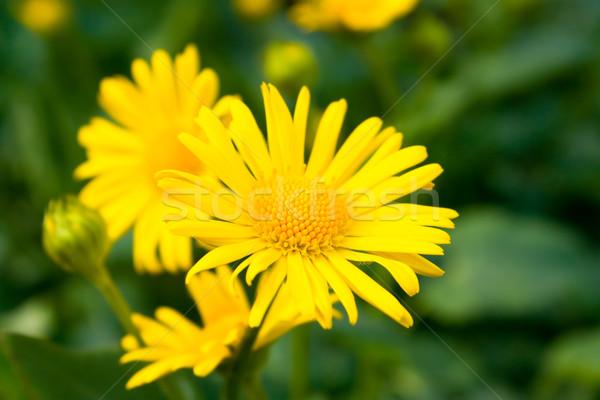 Sarı papatyalar dizayn bahçe çerçeve Stok fotoğraf © inoj