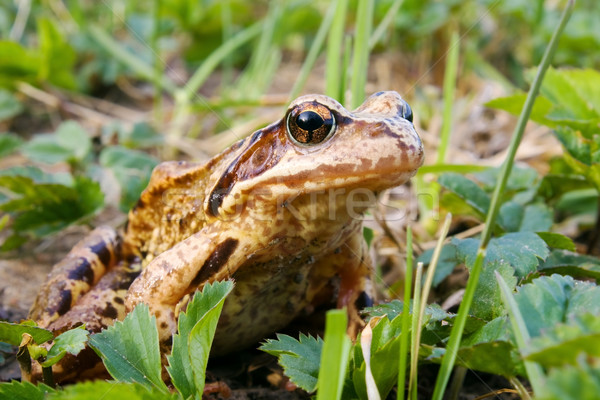 Frog in the grass  Stock photo © inoj