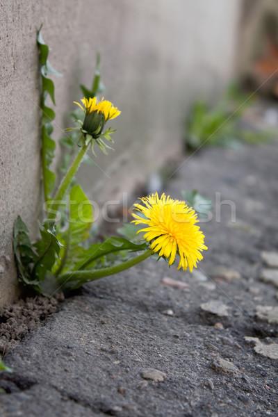 Pitypang város virág tavasz út utca Stock fotó © inoj