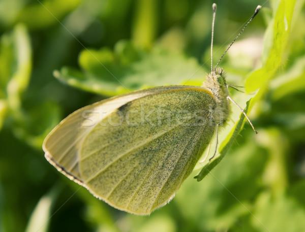 Kicsi fehér pillangó levél fű természet Stock fotó © inoj