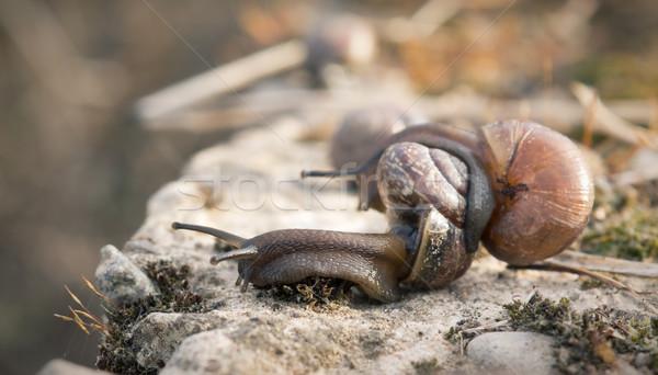 Primo piano due primavera natura shell lumaca Foto d'archivio © inoj