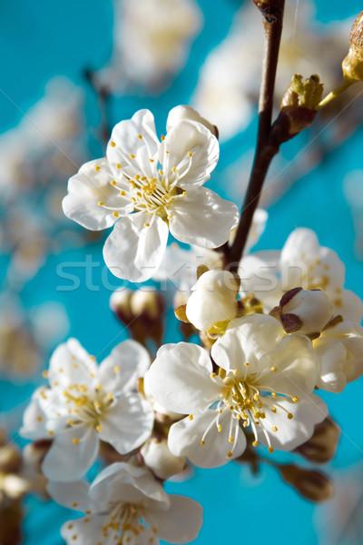 Bahar mavi gökyüzü çiçek ağaç ahşap Stok fotoğraf © inoj