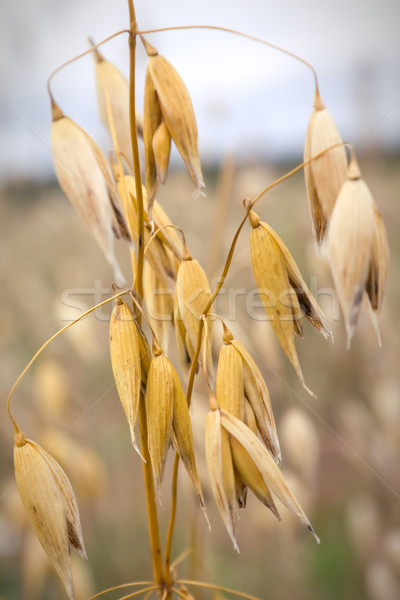 Close-up of oats in the field Stock photo © inoj