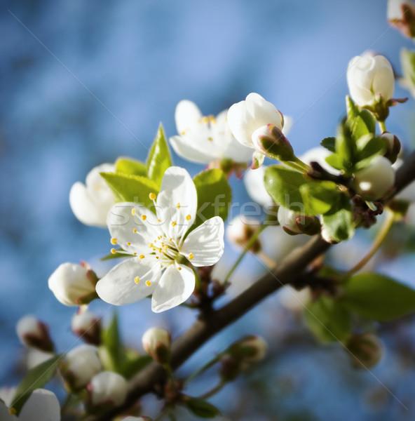 Tavasz cseresznyevirágzás virág fa fa nyár Stock fotó © inoj