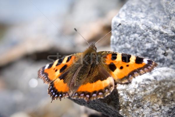 Kelebek oturma kaya doğa güzellik yaz Stok fotoğraf © inoj