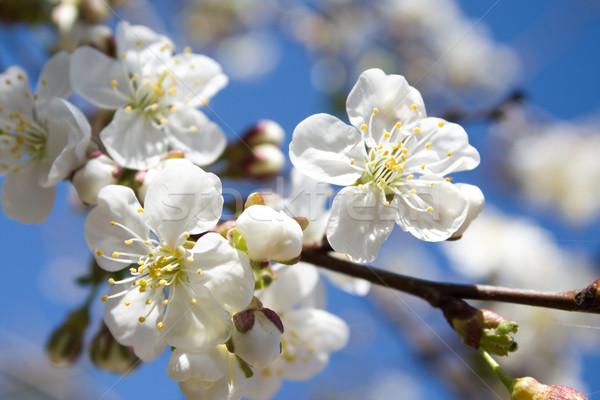 Bahar gökyüzü çiçek ahşap soyut Stok fotoğraf © inoj