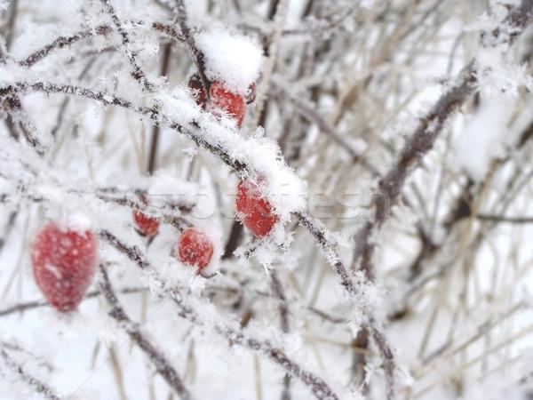 Czerwony zimą śniegu drewna wzrosła tle Zdjęcia stock © inoj