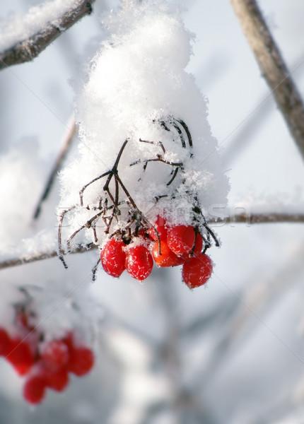 赤 液果類 冬 雪 木材 背景 ストックフォト © inoj