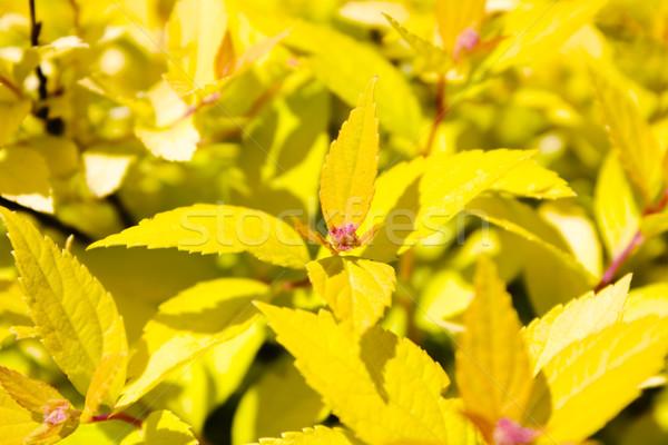 Citromsárga növény tavasz fű erdő természet Stock fotó © inoj