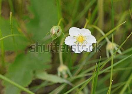 Flowering strawberries in the meadow  Stock photo © inxti