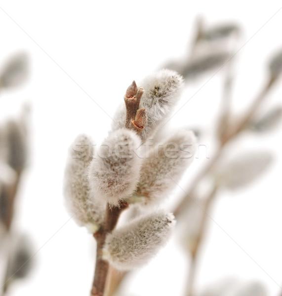 Пасху ива цветок весны природы Сток-фото © inxti