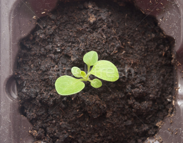 Plant growing from soil- Beginning  Stock photo © inxti