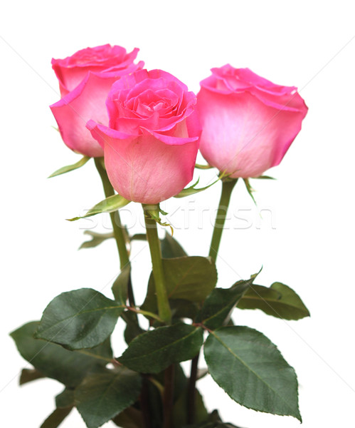 Bunch of pink roses isolated on white  Stock photo © inxti