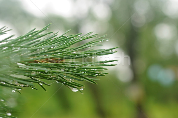 Stock photo: a young fir tree branch with lot of raindrops