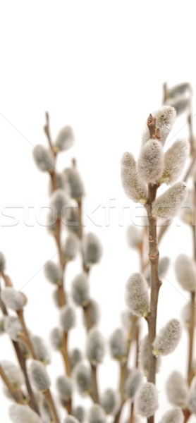Stock photo: Blossoming branch of a willow