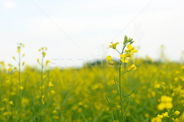 Yellow rapeseed - close-up plant rapeseed on yellow background Stock photo © inxti