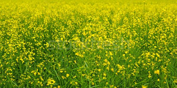 yellow rapeseed field Stock photo © inxti