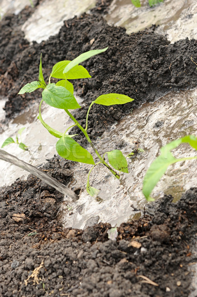 Freshly planted pepper seedling  Stock photo © inxti